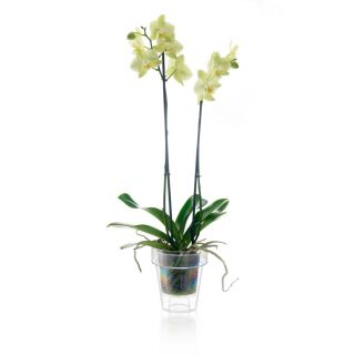 Vaso trasparente per orchidee PORTO Ø16 - TERAPLAST